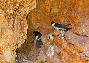 Asian house martin (Delichon dasypus), two on rock ledge. Sanjiangyuan National Nature Reserve, Qinghai Province, Qinghai-Tibet Plateau. August.  -  Dong Lei