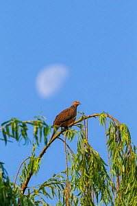 Spotted dove (Spilopelia chinensis) roosting in tree, half moon in sky. Mount Luoji Nature Reserve, Sichuan Province, China. May. - Dong Lei