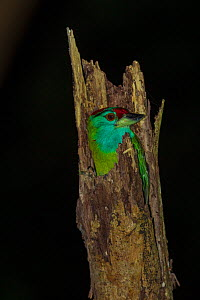 Blue-throated barbet (Megalaima asiatica) roosting in tree stump at night. Simao, Pu'er Prefecture, Yunnan Province, China.  -  Dong Lei