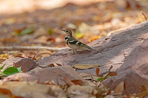 Forest wagtail (Dendronanthus indicus) on sand. Simao, Pu'er Prefecture, Yunnan Province, China  -  Dong Lei