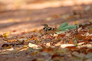 Forest wagtail (Dendronanthus indicus) amongst leaf litter. Simao, Pu'er Prefecture, Yunnan Province, China  -  Dong Lei
