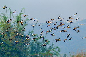 Asian openbill stork (Anastomus oscitans) flock in flight, individuals carrying food or nesting material in beaks. Simao, Pu'er Prefecture, Yunnan Province, China.  -  Dong Lei