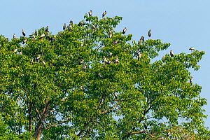Asian openbill stork (Anastomus oscitans) roosting in tree. Simao, Pu'er Prefecture, Yunnan Province, China.  -  Dong Lei