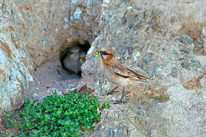 Rufous-necked snowfinch (Pyrgilauda ruficollis) with insects in beak, feeding chicks at nest in rock hollow. Sanjiangyuan National Nature Reserve, Qinghai Province, Qinghai-Tibet Plateau, China. Augus... - Dong Lei
