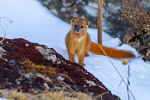 Siberian weasel (Mustela sibirica) standing behind rock, in snow. Jiudingshan Nature Reserve, Mao Country, Sichuan Province, China. November.  -  Dong Lei