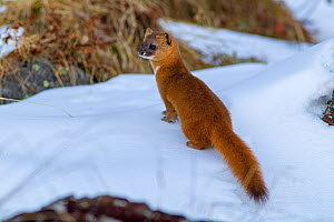 Siberian weasel (Mustela sibirica) standing in snow. Jiudingshan Nature Reserve, Mao Country, Sichuan Province, China. November.  -  Dong Lei