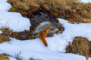 Siberian weasel (Mustela sibirica) sitting in snow. Jiudingshan Nature Reserve, Mao Country, Sichuan Province, China. November.  -  Dong Lei