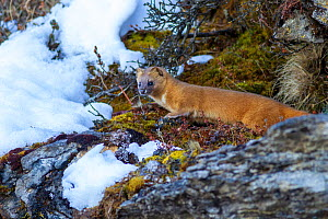 Siberian weasel (Mustela sibirica) in snow. Jiudingshan Nature Reserve, Mao Country, Sichuan Province, China. November.  -  Dong Lei