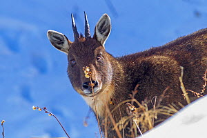 Chinese goral (Naemorhedus griseus) in snow. Jiudingshan Nature Reserve, Mao Country, Sichuan Province, China. November.  -  Dong Lei