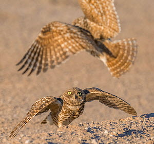 Burrowing owl (Athene cunicularia) pair, male landing with insect prey to pass to female, female will distribute prey to brood. In evening light. Marana, Arizona, USA. May.  -  Jack Dykinga