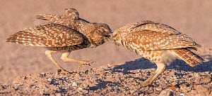 Burrowing owl (Athene cunicularia) pair, male passing insect prey to female, female will distribute prey to brood. In evening light. Marana, Arizona, USA. May.  -  Jack Dykinga
