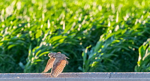 Burrowing owl (Athene cunicularia) female flying over cornfield in search of insect prey. Marana, Arizona, USA. May.  -  Jack Dykinga