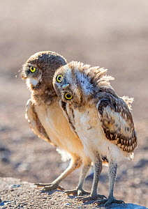 Burrowing owl (Athene cunicularia), two chicks aged 6 weeks standing together, one rotating head at 90 degree, in evening light, Marana, Arizona, USA. May.  -  Jack Dykinga