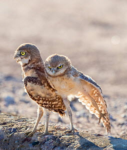 Burrowing owl (Athene cunicularia) chicks, two aged 6 weeks standing together, one stretching wing. In evening light, Marana, Arizona, USA. May.  -  Jack Dykinga