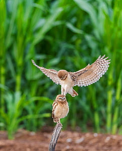 Burrowing owl (Athene cunicularia), two chicks aged one month. Owlet perched on post whilst other lands on head whilst practicing predatory skills. Edge of corn field, Marana, Arizona, USA. June.  -  Jack Dykinga