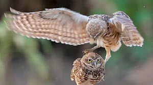Burrowing owl (Athene cunicularia) two juveniles aged approximately 4 months, engaging in rough predator practice play. Marana, Arizona, USA. August.  -  Jack Dykinga