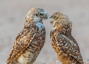 Burrowing owl (Athene cunicularia) parent and fledgling aged 3.5 months. Adult pressing adolescent to leave. Marana, Arizona, USA. August.  -  Jack Dykinga