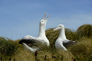 Southern royal albatross (Diomedea epomophora) pair in courtship display. Campbell Island, New Zealand. February.  -  Mike Potts