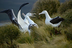 Southern royal albatross (Diomedea epomophora) sub-adults, group displaying in tussock grassland. Campbell Island, New Zealand. February.  -  Mike Potts