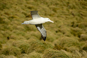 Southern royal albatross (Diomedea epomophora) flying over breeding grounds in grassland. Campbell Island, New Zealand. February.  -  Mike Potts