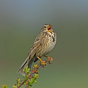 Corn bunting (Emberiza calandra) singing, perched on branch. Denmark, May.  -  Hanne & Jens Eriksen