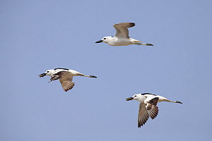 Crab-plover (Dromas ardeola) three flying, two with crabs in beaks. Oman, June.  -  Hanne & Jens Eriksen