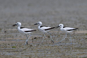 Crab-plover (Dromas ardeola) three walking in a row on mudflat, two with food in beaks. Oman, June. - Hanne & Jens Eriksen