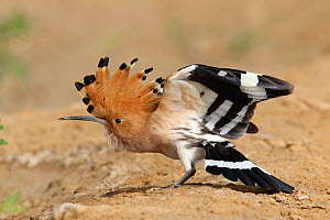 Eurasian hoopoe (Upupa epops) raising crown and stretching wings and tail. Oman, March.  -  Hanne & Jens Eriksen