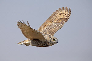 Great horned owl (Bubo virginianus) in flight. Saskatchewan, Canada, August.  -  Hanne & Jens Eriksen