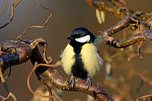 Great tit (Parus major) perched in tree with fluffed up feathers. Denmark, February.  -  Hanne & Jens Eriksen