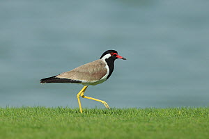 Red-wattled lapwing (Vanellus indicus) walking on lawn. Oman, April.  -  Hanne & Jens Eriksen
