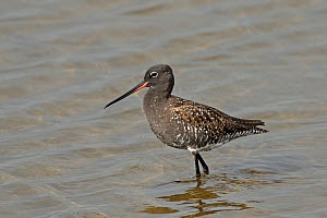 Spotted redshank (Tringa erythropus) in breeding plumage, in shallow water. Denmark, May. - Hanne & Jens Eriksen