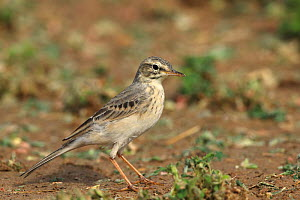 Tawny pipit (Anthus campestris) standing on ground. Oman, March.  -  Hanne & Jens Eriksen