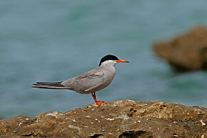 White-cheeked tern (Sterna repressa) standing on rock. Oman, June. - Hanne & Jens Eriksen