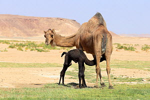 Dromedary (Camelus dromedarius) female and newborn calf, calf suckling. Oman, March. - Hanne & Jens Eriksen