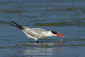 Caspian tern (Hydroprogne caspia) with open beak, in shallow water. Oman, March.  -  Hanne & Jens Eriksen