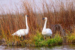 Trumpeter swan (Cygnus buccinator) pair on bank. Grand Teton National Park, Wyoming, USA. September. - Oscar Dewhurst
