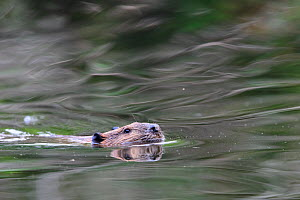 North American beaver (Castor canadensis) swimming with head above water. Stanley Park, Vancouver, British Columbia, Canada. August.  -  Oscar Dewhurst