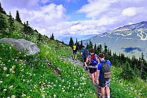 Hikers walking along trail through wildflowers in alpine landscape. Whistler, British Columbia, Canada. August - Oscar Dewhurst