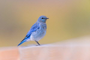 Mountain bluebird (Sialia currucoides). Yellowstone National Park, Wyoming, USA. September.  -  Oscar Dewhurst