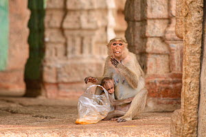 Bonnet macaque (Macaca radiata) female and baby at temple with bag of food taken from humans. Hampi, Karnataka, India. 2019.  -  Oscar Dewhurst