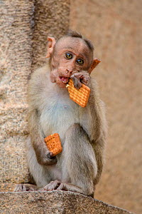 Bonnet macaque (Acridotheres tristis) infant eating biscuits provided by humans. Hampi, Karnataka, India.  -  Oscar Dewhurst
