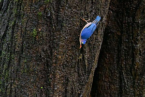 Velvet-fronted nuthatch (Sitta frontalis) on tree trunk. Goa, India. - Oscar Dewhurst