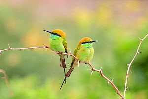 Green bee-eater (Merops orientalis) pair perched on branch, facing opposite directions. Karnataka, India. - Oscar Dewhurst