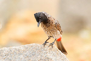 Red-vented bulbul (Pycnonotus cafer) perched on rock. Karnataka, India.  -  Oscar Dewhurst