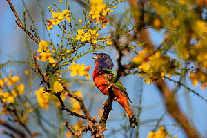 Painted bunting (Passerina ciris) male singing, perched in tree amongst yellow flowers. Texas, USA. April. - Karine Aigner