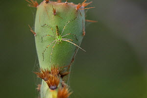 Green lynx spider (Peucetia viridans) on Prickly pear cactus (Opuntia sp). Texas, USA. June. - Karine Aigner