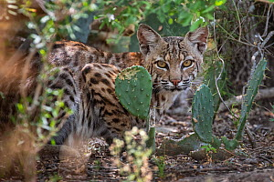 North American bobcat (Lynx rufus) juvenile amongst Prickly pear (Opuntia sp) cacti. Texas, USA. July. - Karine Aigner