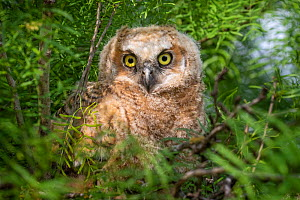 Great horned owl (Bubo virginianus) owlet in tree. Texas, USA. April. - Karine Aigner