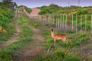 White-tailed deer (Odocoileus virginianus) standing beside track on ranch. Texas, USA. April 2019. - Karine Aigner